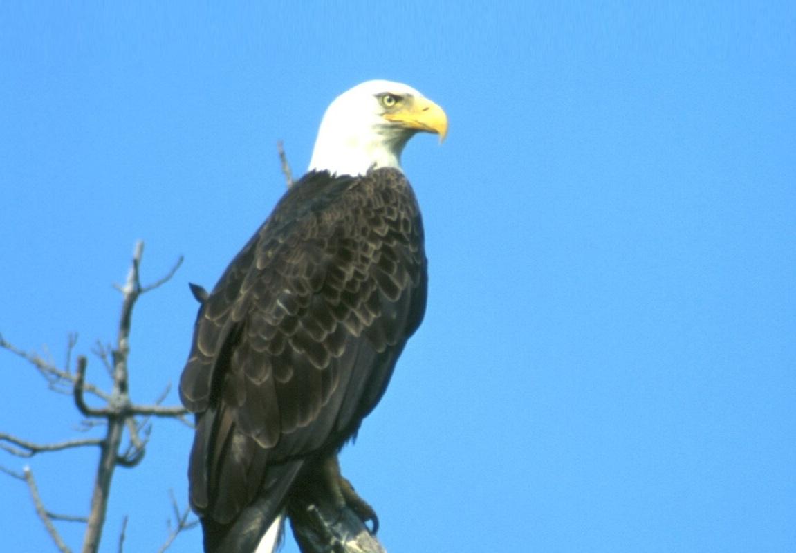 ODNR Bald Eagle